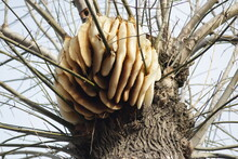 Open Beehive On A Tree, Winter Bald Twigs, Worked Bees. Buzzing Humming. Natural Formation, Hexagon, Wax Sculpture, Abstract, Unique