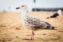 Young Brown Seagull Standing O...