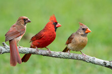 Northern Cardinal Pair Perched On A Branch With A Juvenile