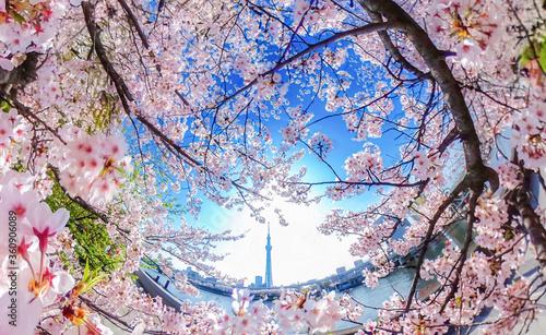 隅田川沿いの満開の桜と東京スカイツリー、超広角アングル Fototapet