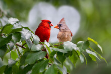 Northern Cardinal Pair Perched In Elm Tree In Louisiana