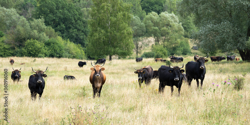 Valokuva Taurus cattle in a semi-open pasture landscape