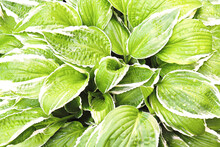 Green Background. Variegated G...