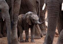 Baby Elephant (Loxodonta Afric...