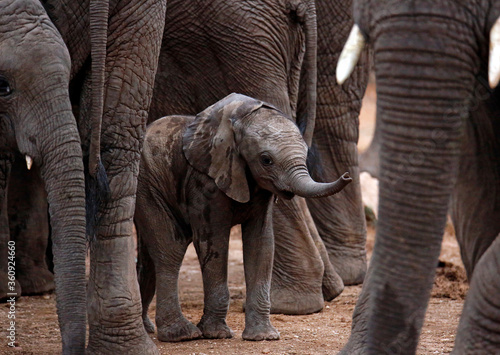 Fotografie, Obraz Baby Elephant (Loxodonta africana) Sheltered among the Grown Ups
