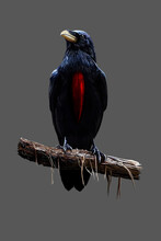 Bluish Black Crow With Red Breast