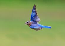 North Carolina Bluebird Flying...