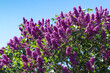 canvas print picture - Lilac tree syringa vulgaris in front of a clear blue sky during spring on a sunny day