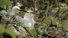 Snowy Egret Heron (Egretta Thula) Birds Nesting In Green Shrubs Wildlife Background