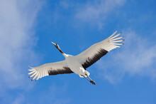 青空を飛ぶタンチョウ...