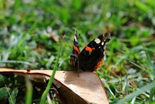 Closeup Shot Of A Red Admiral Butterfly On The Grass Under The Sunlight With A Blurry Background