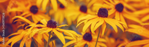 Fotografija Yellow rudbeckia hirta black-eyed susan sunflower flowers background