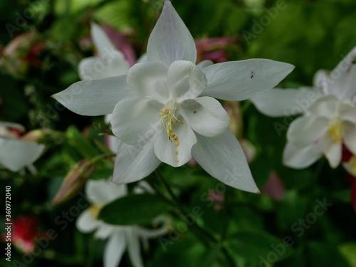 Fotografie, Obraz Pure White Columbine