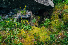 Beautiful Small Yellow Flowers Grows On Stone Among Mosses And Grasses Of Highlands. Scenic Nature Backdrop With Lush Greenery Of Mountains. Vivid Green Wild Flora. Colorful Natural Backdrop Of Autumn
