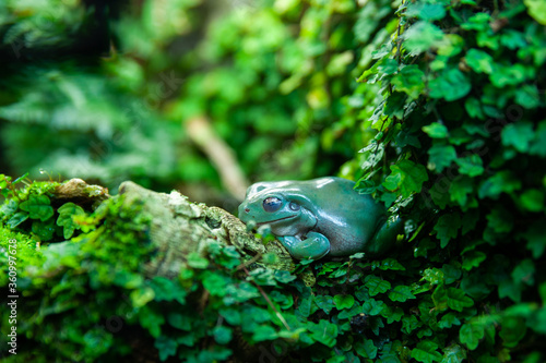 Photo Green frog in foliage in natural conditions, jungle, tropics