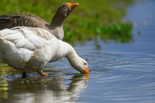 Geese On The Shore River In The Springtime