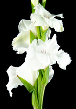 Side View Of White Gladiolus F...