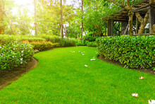 Landscape Of Smooth Green Grass Lawn, Plumeria Flowers On Turf, Trees With Supporting, Shrub And Wooden Trellis In A Good Maintenance Garden