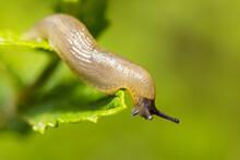 Macro Of Pest, Garden Slug Eating Flower Green Leaves