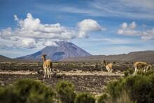 Landscape Shot Of Ginger Llama...