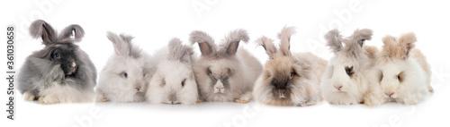 Photo English Angora rabbits
