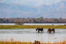 Elephant Bulls Walking In The ...