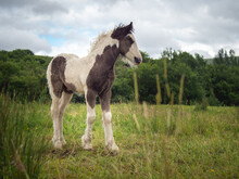 Wild New Born Foal Horse In The Welsh Valleys, United Kingdom