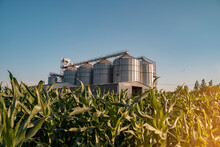 Agricultural Silos In The Middle Of Corn Field, Clear Blue Sky