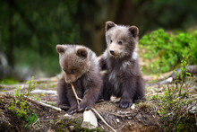 Two Little Brown Bear Cub Are ...