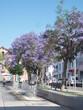 Blühende Jacaranda Bäume in Loule in Portugal