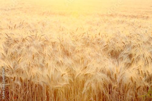 Champs de blé sous le soleil de Provence en France Wallpaper Mural