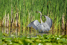 Great Blue Heron With A Fish A...