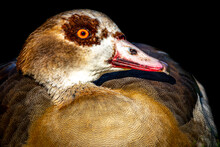 A Close Up Of A Nile Goose