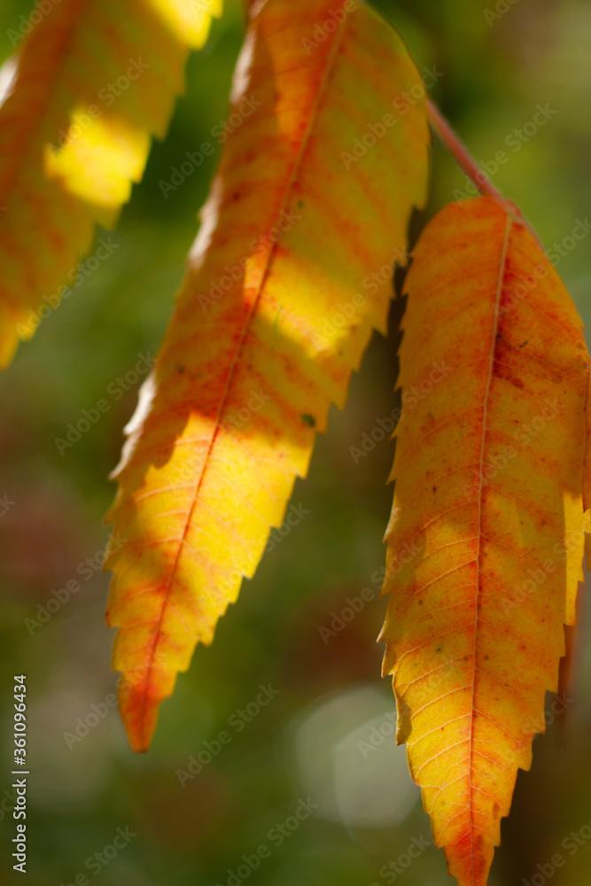 Fototapeta Liść żółty jesień