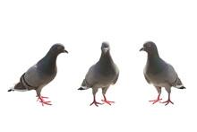Gray Pigeon On The Cobblestones