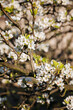 White pear flowers on tree branches.