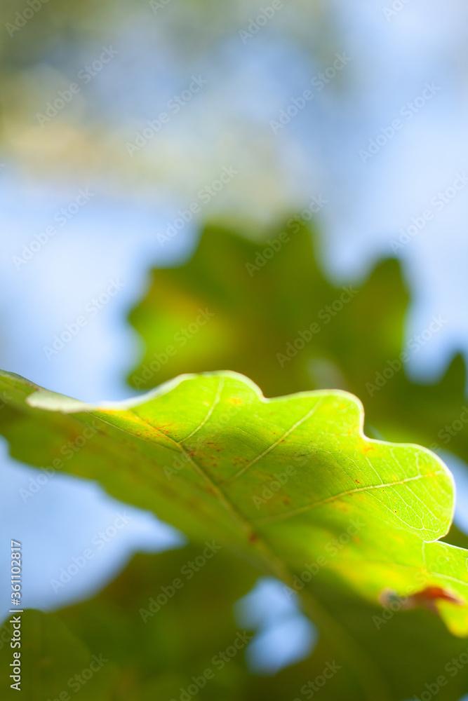 Fototapeta Liść zielony niebo niebieskie
