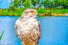 Captive Bird Of Prey On Lake Background