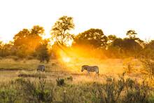 Zebra In Khwai - Botswana