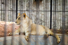 Single Young Lioness Resting On Stone Floor In Cage Behind Black Lattice In Zoo