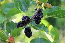 Black Mulberry Berries Ripen On A Tree On A Sunny Summer Day