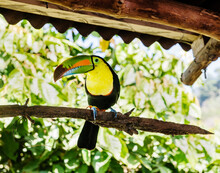 Toucan On A Tree, Minca, Colombia, South America