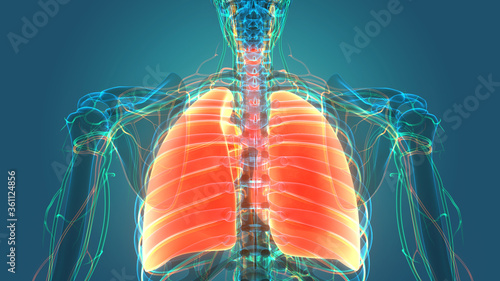 Human Respiratory System Lungs with Circulatory System Anatomy Canvas Print
