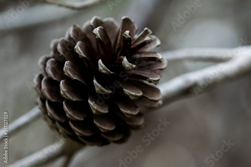 Aleppo Pine Cone, open and having released all its seeds, in Malta with bokeh ba Wallpaper Mural