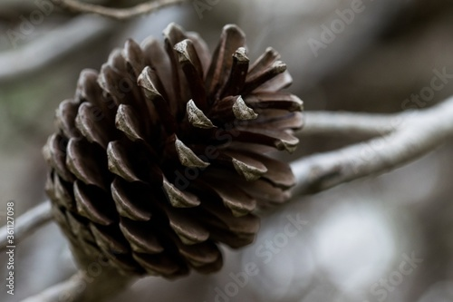 Photo Aleppo Pine Cone, open and having released all its seeds, in Malta with bokeh ba