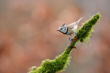 European Crested Tit Sitting O...