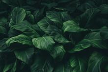 Spathiphyllum Cannifolium Leav...