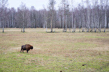 European Bison In The Field During Warm Winter Time