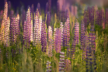 Lupine Field Of Pink, White, L...