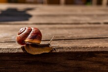 Close Up Shot Of A Snail On A ...